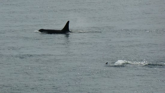 Lime Kiln Point State Park : Orca off Lime Kiln