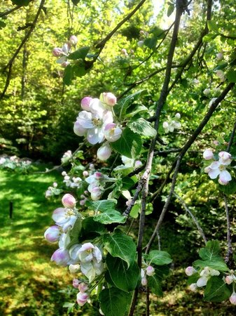 Johns Brook Lodge: Apple tree blooming in side yard.