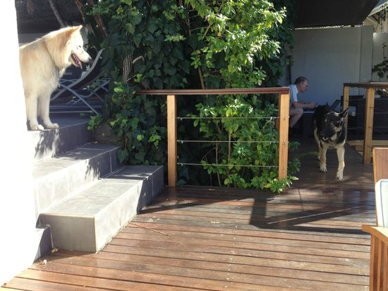 Little Scotia Guest House: Dogs by the pool