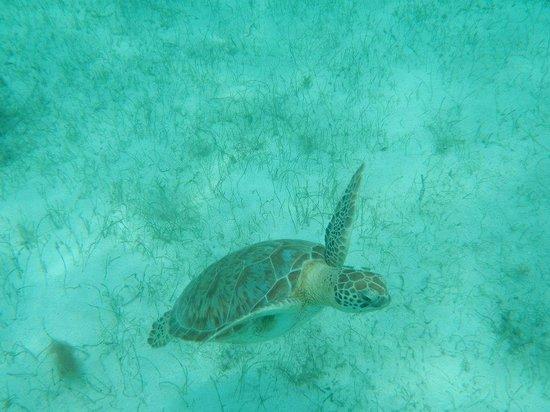 Palm Island Resort & Spa: Sea turtle snorkeling on Yannis excursion