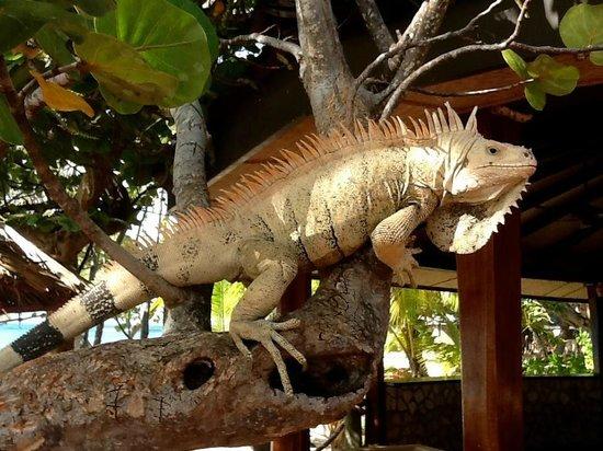 Palm Island Resort & Spa: Gerge the Iguana