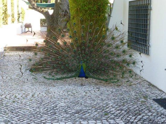 Quinta do Miguel : der Pfau