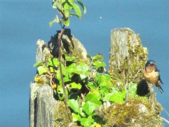 Inn at Skamokawa Landing: Loved the green tree swallow