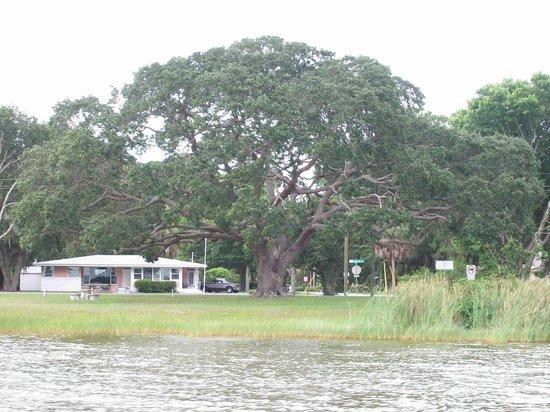 The Rusty Anchor: Live Oak Tree Lake Dora June 2013