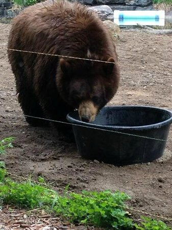 North American Bear Center : Lucy (I believe) in the viewing area.