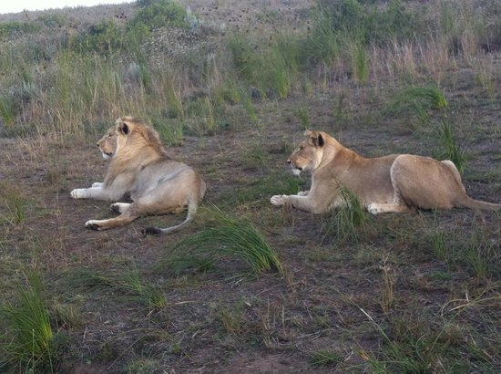 Cape Xtreme: Walking with the lions