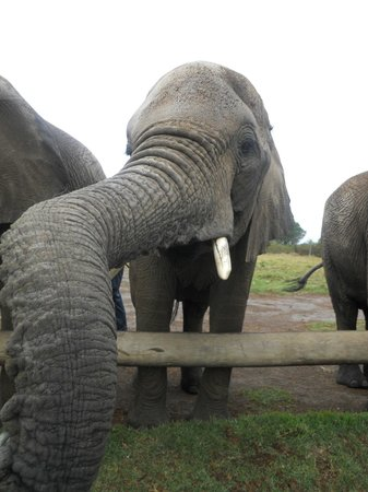 Cape Xtreme: Feeding elephants at the Elephant Sanctuary