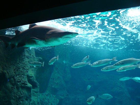 Cretaquarium - Thalassocosmos : Our the favorite shark