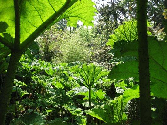 The Lost Gardens of Heligan: Gunera!