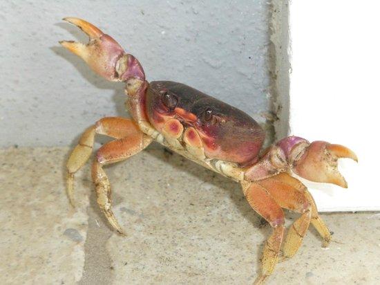 Delphi Club: Smiling land crab