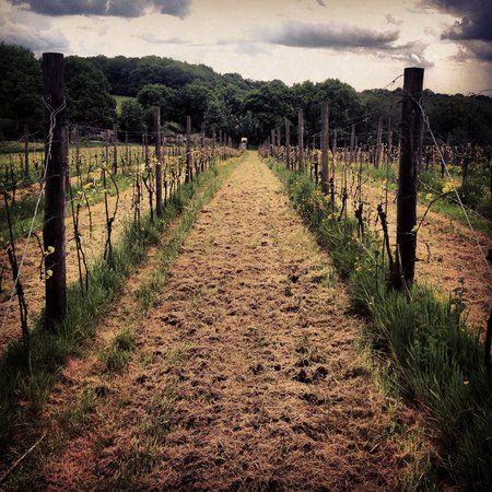 Sedlescombe Organic Vineyard: The vines