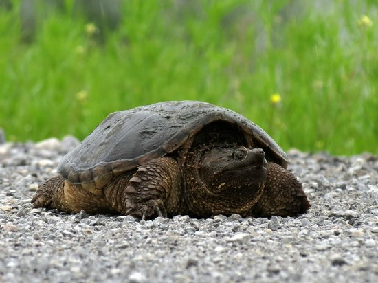 Montezuma National Wildlife Refuge: Snapping Turtle crossing the road