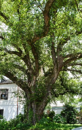 House of the Rising Sun Bed and Breakfast: 200 year old Oak tree