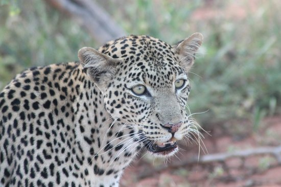 Southern Palms Beach Resort : Leopard on Safari