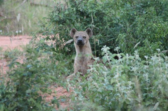 Southern Palms Beach Resort : Hyena on Safari