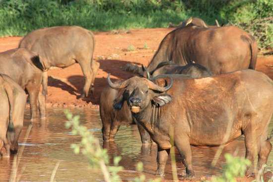 Southern Palms Beach Resort : Cape Buffalo on Safari