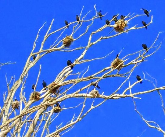 Heron and Cormorant Rookery: Love the trees & nests