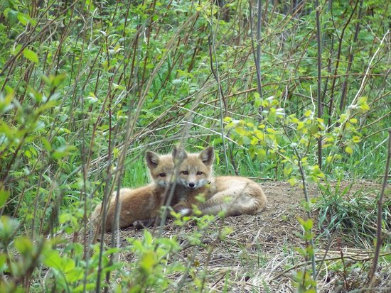 Grand Portage State Park: baby fox