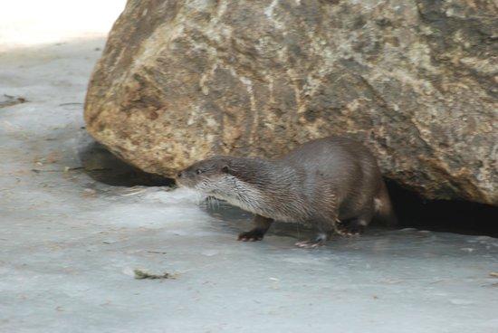 Tier-Freigelande - Nationalpark Bayerischer Wald: Otter at Neushonau