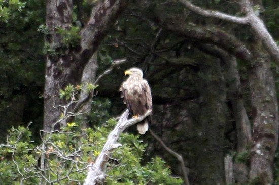 Island Encounters : White-tailed eagle - from a distance