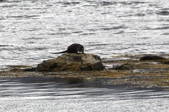 Island Encounters : Otter - taken from some distance