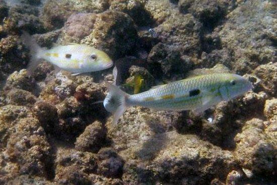 Lawa'i Beach: White Goatfish