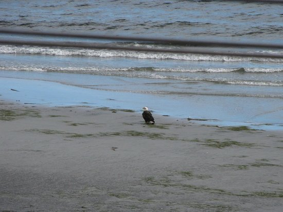 Casa Grande Inn: Spotted this eagle on the beach, from our deck.