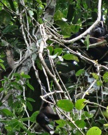 Caribe Town: Howler monkeys watching us watching them.