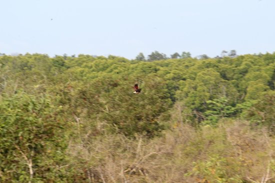 Kuala Selangor Nature Park (Taman Alam Kuala Selangor): A Brahminy Kite in flight