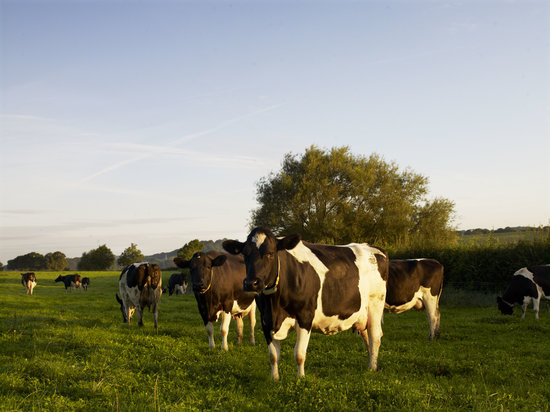 Yeo Valley Organic Garden: Our award winning British Friesian herd