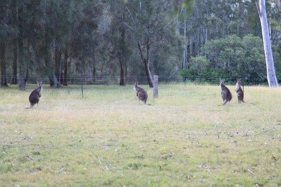 Paperbark Camp: Kangaroos
