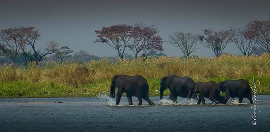 Imbabala Zambezi Safari Lodge: Elephant Crossing the Zambezi River at Imbabala