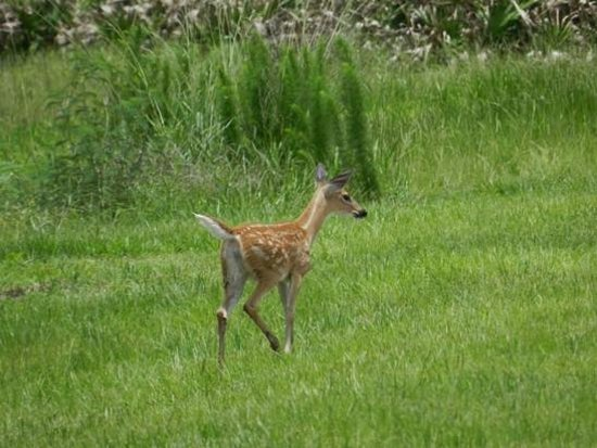 Kissimmee Prairie Preserve State Park: Bambi, actually there were a lot of deer