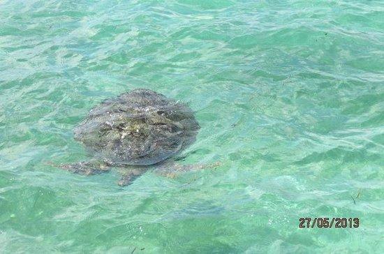 Medhufushi Island Resort: tortue à côté du bar sur pilotis