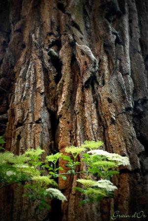 Pleven, Франция: détail du séquoia manoir du vaumadeuc