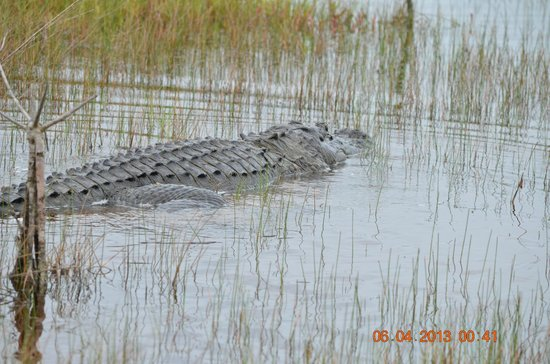 Blue Dolphin Cottages: And of course alligators! None on grounds...