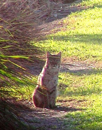 Boynton Beach, FL: Closeup of Bobcat- Green Cay Wetlands-1-27-13