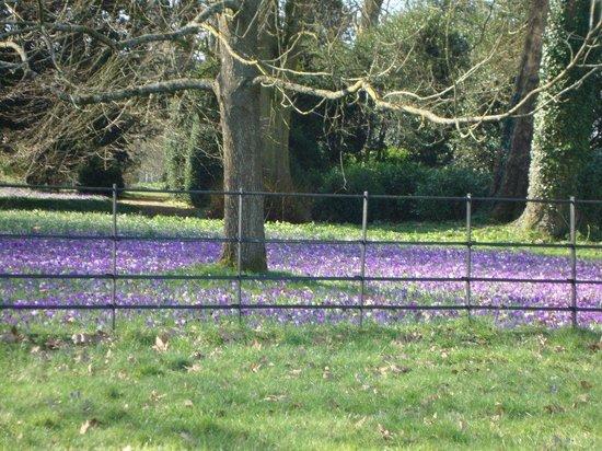 Damson Cottage: Blue carpet of crocus in Lacock Abbey