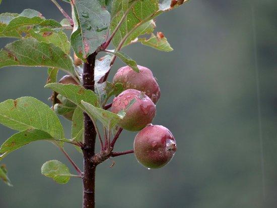 Apple Orchard Resort: Apples
