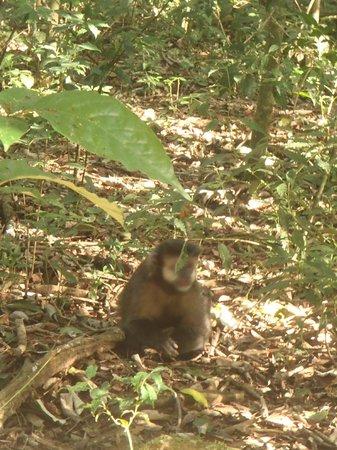 Iguazu Falls: Macaco que é parte de um bando que mora no parque