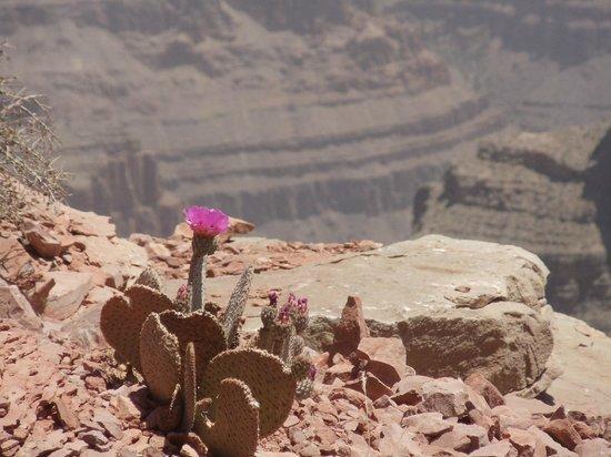Flor No Deserto Foto De Grand Canyon South Rim Parque Nacional Do