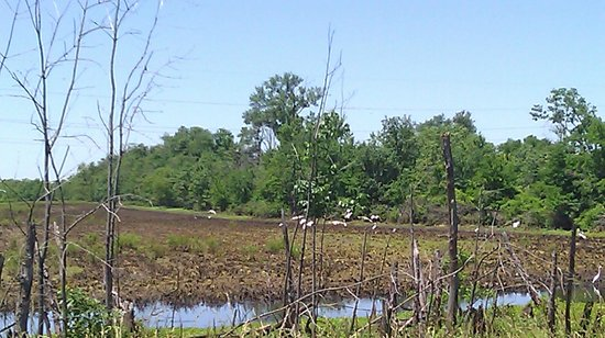 Cache River State Natural Area: Water birds in a farm field across road from visitor center
