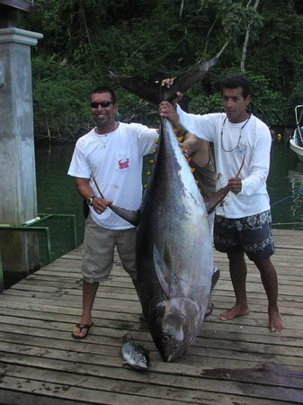 Aguila de Osa Inn: Big 200 lbs yellowfin tuna