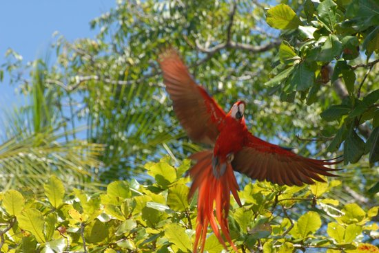 Aguila de Osa: scarlet macaw come in for a landing