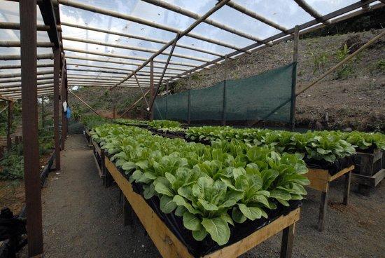 Aguila de Osa: fresh salad anyone from our organic garden