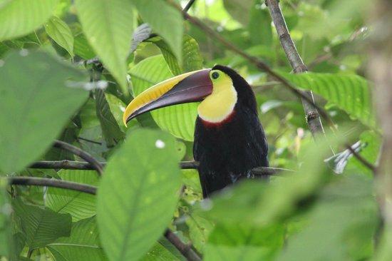 Aguila de Osa: tocan vey cool bird