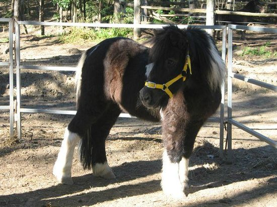 Mooloolah Valley Holiday Houses: Cute little Snoopi pony