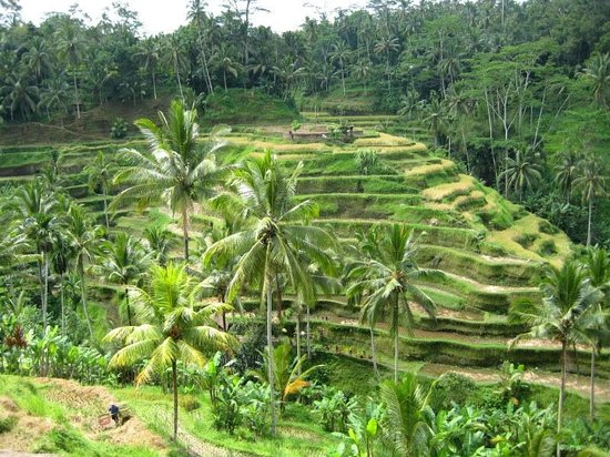 Ceking rice terraces picture of tegalalang rice terrace for Tegalalang rice terrace ubud