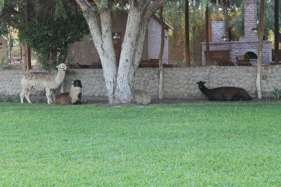 Hotel Nuevo Cantalloc: Animali nel giardino (1)