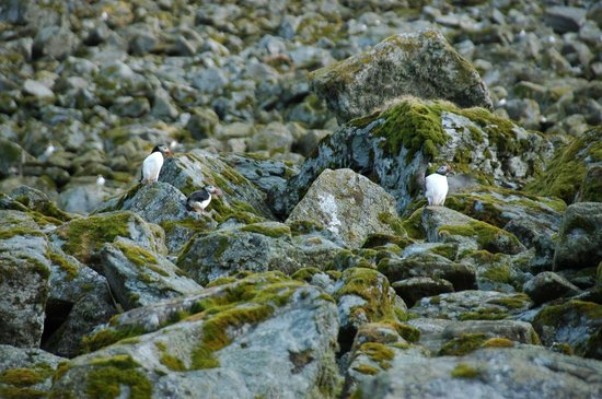 Lovund Hotell: Puffins. Three is one too many.